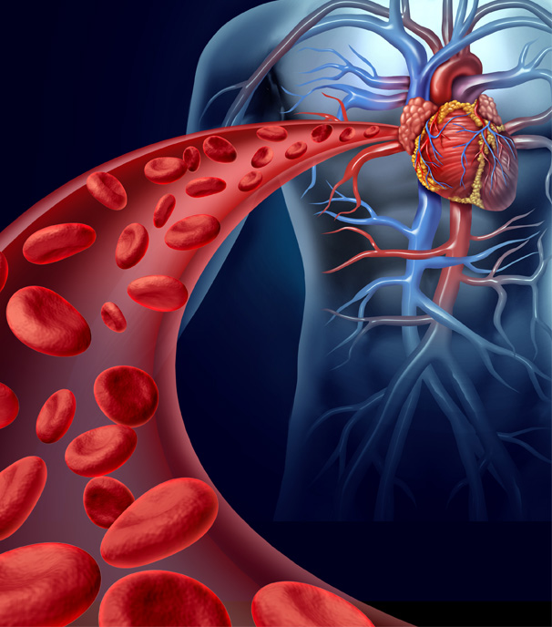 Stock Image of Blood Flow to Heart